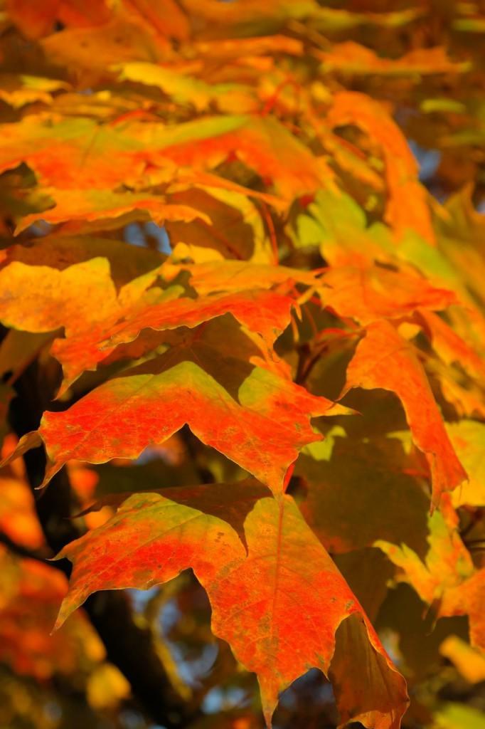 Осенние клены