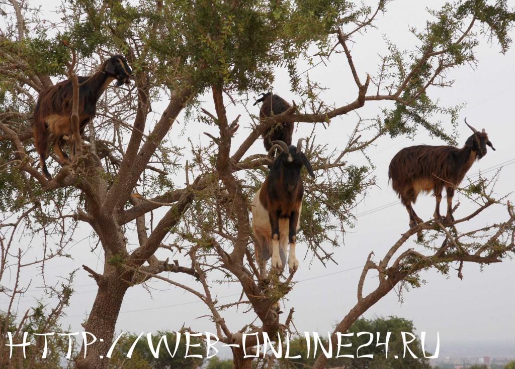 """""""Летающие"""" козы в Марокко"""