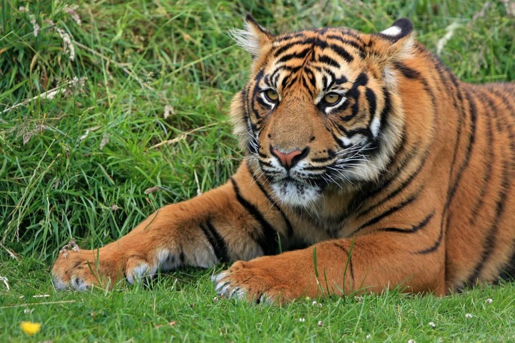 Тигр – опасный хищник