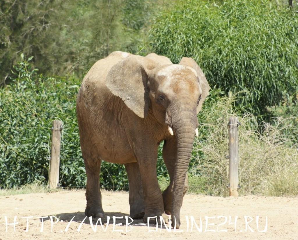 Слон из зоопарка «Фригия» в Тунисе