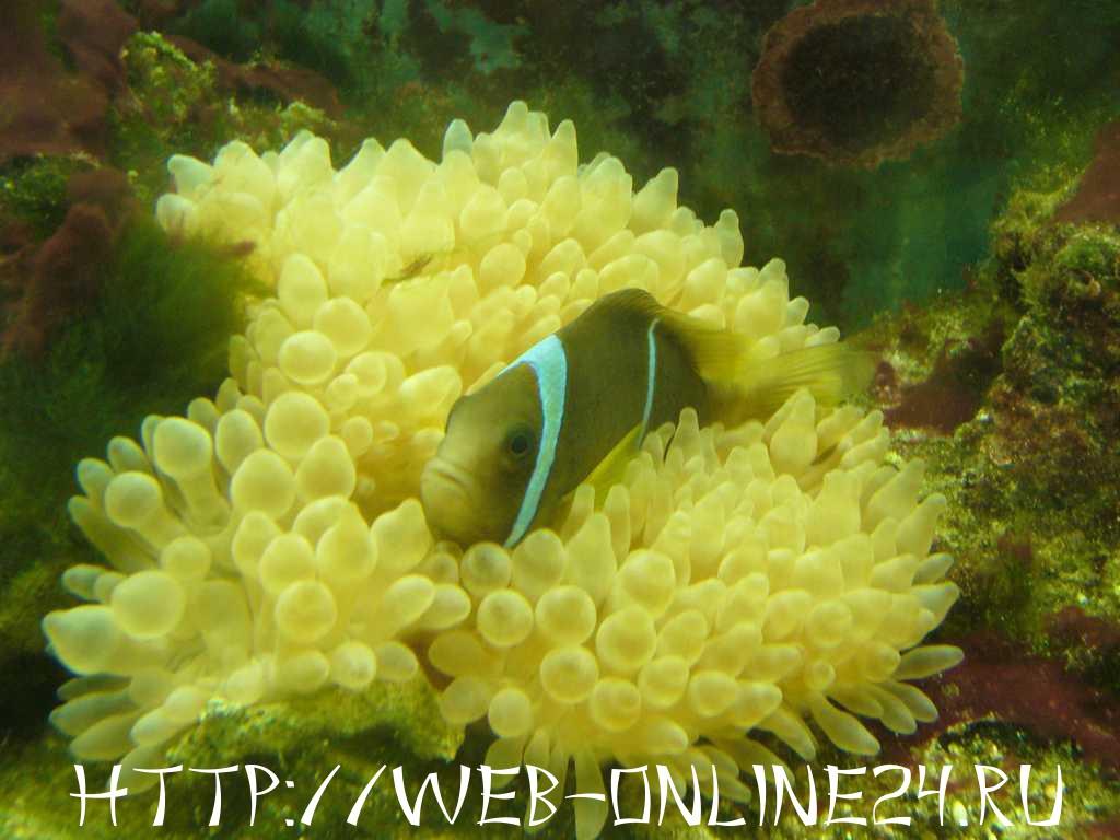 Рыба клоун из аквариума в Египте