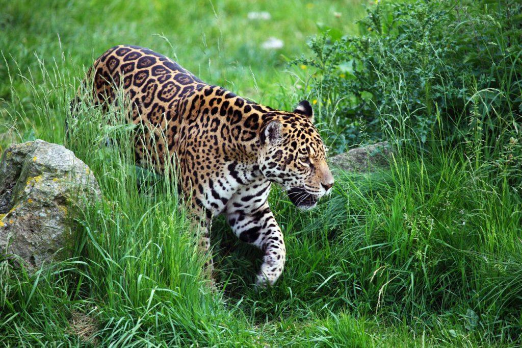 Ягуар или пантера в дикой природе