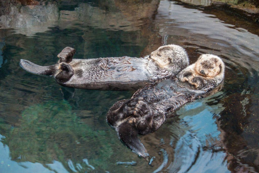 Пара морских выдр в океанариуме