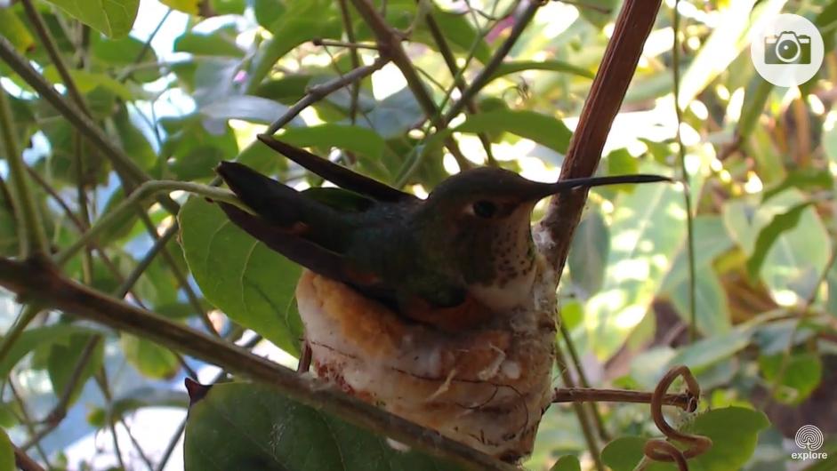 Колибри в гнезде