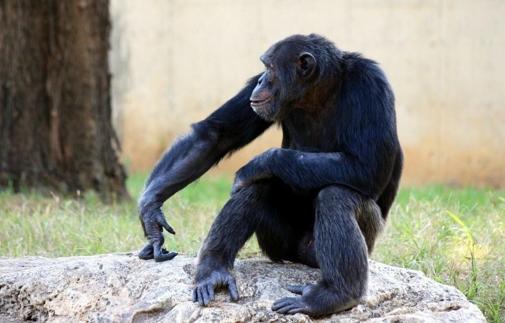 Шимпанзе - прообраз Снежного человека