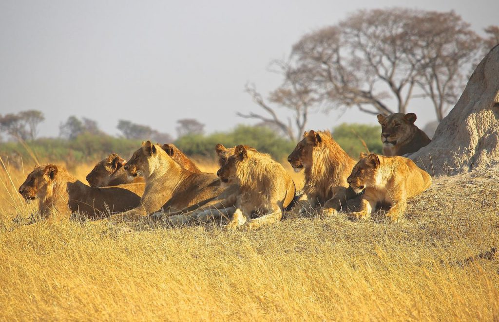 Львы в африканской саванне